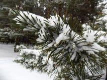 Den härliga vintern landscape Abstrakt pinjeskogbakgrund Arkivbilder
