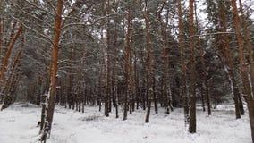 Den härliga vintern landscape Abstrakt pinjeskogbakgrund Arkivfoto