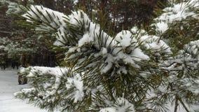 Den härliga vintern landscape Abstrakt pinjeskogbakgrund Royaltyfria Foton