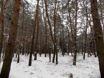 Den härliga vintern landscape Abstrakt pinjeskogbakgrund Royaltyfri Foto