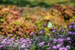 Den härliga vita fjärilen sitter på blommor Royaltyfria Foton