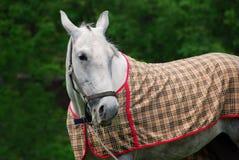 Den härliga vita hästen Arkivfoton
