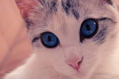 Den härliga vita katten med att bedöva blåa ögon Royaltyfri Fotografi