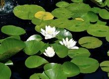 Den härliga vita näckrons blommar bakgrund Fotografering för Bildbyråer