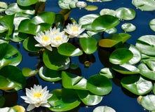 Den härliga vita näckrons blommar bakgrund Arkivfoto