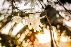 Den härliga vita orkidén blommar solnedgång i Phuket Thailand fotografering för bildbyråer