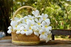 Den härliga vita pluemeriaen blommar i korg Arkivfoton
