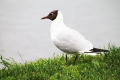 Den härliga vita seagullen väntar på utbrottet av fisken på yttersidan av sjön arkivfoto