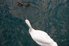 Den härliga vita svanen med små svanbarn simmar på sjön Utrymme för text arkivfoton