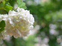 Den härliga vita viburnumen blommar i trädgården Viburnumopulus Kasta snöboll upp slutet för den dekorativa växten arkivfoton