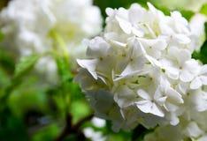 Den härliga vita viburnumen blommar i trädgården Viburnumopulus Kasta snöboll upp slutet för den dekorativa växten royaltyfri fotografi