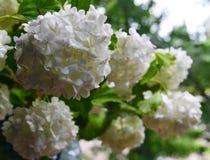 Den härliga vita viburnumen blommar i trädgården Viburnumopulus Kasta snöboll upp slutet för den dekorativa växten arkivfoto