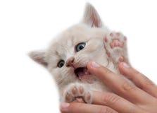 Den hållande kattungen för hand Arkivfoton