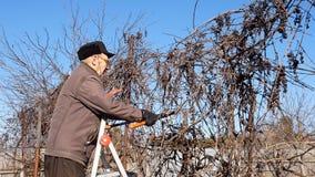 Den höga äldre manträdgårdsmästaren beskär buskeris arkivbild