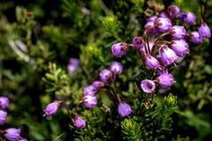 Den höga höjdlilan blommar i natur Arkivbild