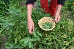 Den höga kvinnaträdgårdsmästaren räcker plockning i korgen nya visa Salvia royaltyfria foton