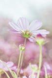 Den höga nyckel- bilden av rosa skönhetkosmos blommar under solskenet Royaltyfria Foton