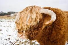 Den höglands- tjuren med ringer i näsa Royaltyfri Bild