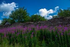 Den högväxta lilan blommar på en bakgrund av splittrade stenväggar och Arkivfoton