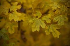 den höstliga dagen låter vara melankolisk yellow Arkivfoto
