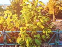den höstliga dagen låter vara melankolisk yellow Sidorna hänger på ett träd av guld- färg Picture kan användas som en bakgrund Gu royaltyfri bild