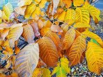 den höstliga dagen låter vara melankolisk yellow Sidorna hänger på ett träd av guld- färg Picture kan användas som en bakgrund Gu arkivfoto