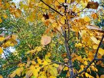 den höstliga dagen låter vara melankolisk yellow Sidorna hänger på ett träd av guld- färg Picture kan användas som en bakgrund Gu royaltyfria bilder
