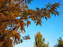 den höstliga dagen låter vara melankolisk yellow Sidorna hänger på ett träd av guld- färg Picture kan användas som en bakgrund Gu arkivbild