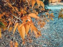 den höstliga dagen låter vara melankolisk yellow Sidorna hänger på ett träd av guld- färg Picture kan användas som en bakgrund Gu fotografering för bildbyråer
