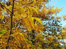 den höstliga dagen låter vara melankolisk yellow Sidorna hänger på ett träd av guld- färg Picture kan användas som en bakgrund Gu royaltyfri foto