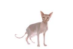 den hövdade skalliga katten ilar Arkivfoto
