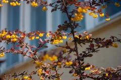 Den h?rliga barberrybusken med m?rka r?dbruna sidor blommade ljus orange guling arkivfoto