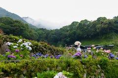 Den h?rliga blommavanlig hortensiamacrophyllaen eller Hortensiablomman blommar stock illustrationer