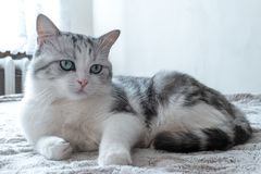 Den h?rliga katten ligger i s?ng h?rlig katt med stort vila f?r gr?na ?gon arkivfoto