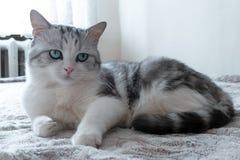 Den h?rliga katten ligger i s?ng h?rlig katt med stort vila f?r gr?na ?gon royaltyfri fotografi