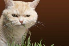 Den h?rliga kr?m- strimmig kattkatten ?ter gr?s, p? en brun bakgrund royaltyfri foto