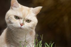 Den h?rliga kr?m- strimmig kattkatten ?ter gr?s, p? en brun bakgrund royaltyfria foton