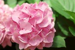 Den h?rliga rosa vanliga hortensian blommar att blomma i tr?dg?rden fotografering för bildbyråer