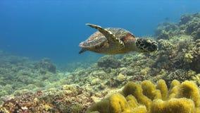 Den Hawksbill sköldpaddan simmar över en korallrev 4K stock video