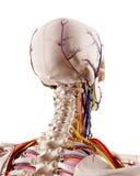 Den head anatomin Royaltyfri Fotografi