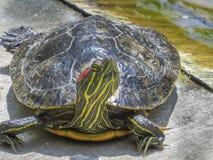 Den Head höjdsköldpaddan på El regionala Dorado parkerar österut royaltyfri fotografi