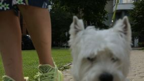 Den hederliga hunden WEst hiland white skräckhunden som går runt i staden på ett videomaterial lager videofilmer