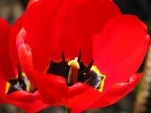Den hela 'inre 'världen av tulpan i ett skott royaltyfria bilder