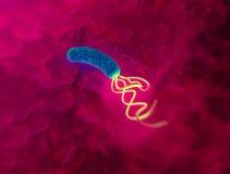 Helicobacter pyloribakterie vektor illustrationer