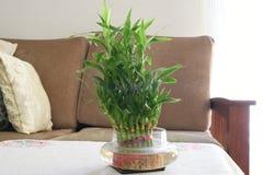 Den hem- bambuvattenväxten, gräsplan lämnar bambuväxten i vardagsrum Royaltyfri Bild