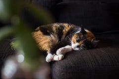 Den hem- katten sover på soffan Arkivfoto