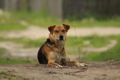 Den hemlösa hunden Royaltyfria Foton