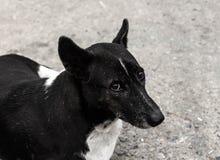 Den hemlösa hunden Royaltyfria Bilder