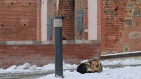 Den hemlösa hunden fryser på snön nära byggnaden stock video