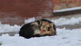 Den hemlösa hunden fryser på snön nära byggnadsnärbilden stock video